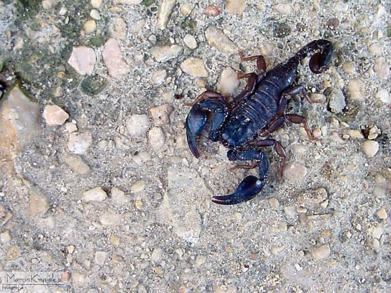 Skorpion, skorupiak, ska�y, kamienie