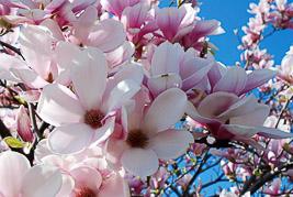 Magnolia - kwiecieñ 2007